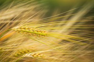 ripening ears of wheat